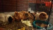 Морские свинки,  кролики,  хомяки,  крысы,  шиншиллы,  белки дегу